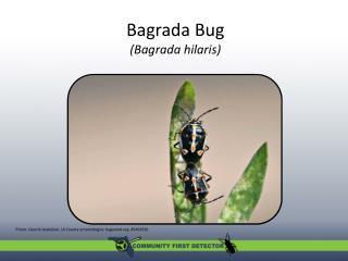 Bagrada  Bug ( Bagrada hilaris )