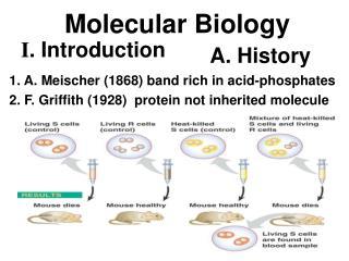 1. A. Meischer (1868) band rich in acid-phosphates