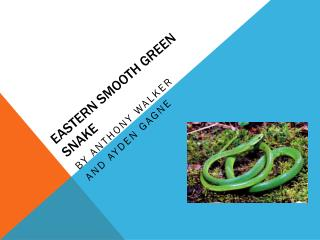 Eastern Smooth Green Snake