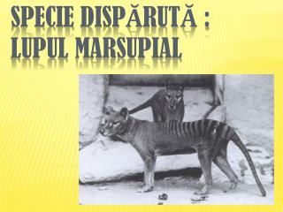 Specie  DISP Ă RUT Ă : Lupul marsupial