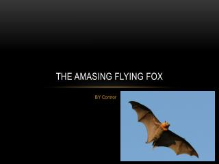 the  amasing  flying fox