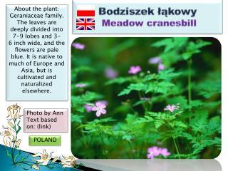 Bodziszek łąkowy Meadow cranesbill