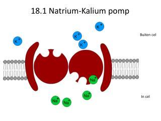 18.1 Natrium-Kalium pomp