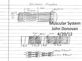 Muscular System John Donovan 4/20/12