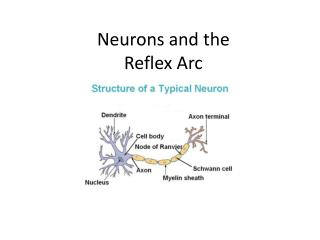 Neurons and the  Reflex Arc