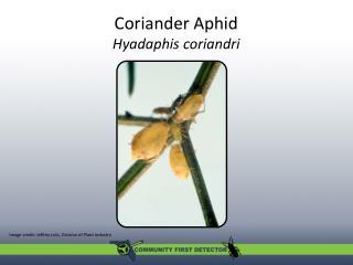 Coriander Aphid Hyadaphis coriandri