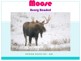 Moose Heavy Headed