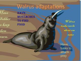 Walrus adaptations