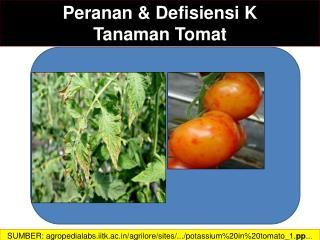 Peranan  &  Defisiensi K  Tanaman Tomat