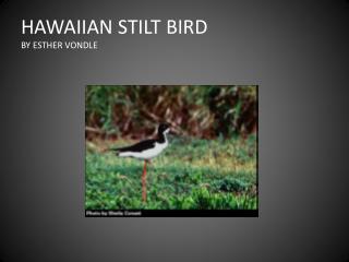HAWAIIAN STILT BIRD  BY ESTHER VONDLE