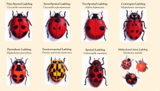 Nine-Spotted Ladybug Coccinella novemnotata