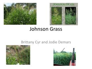 Johnson Grass