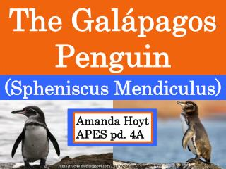 The Galápagos Penguin