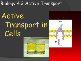 Biology 4.2 Active Transport