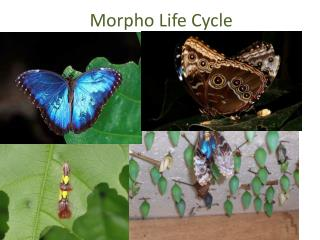 Morpho  Life Cycle