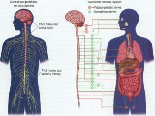 Brain/Neurons/Cerebrum Cerebrum: