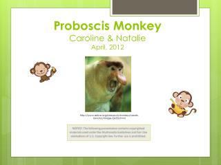 Proboscis Monkey Caroline  & Natalie April, 2012