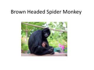 Brown Headed Spider Monkey