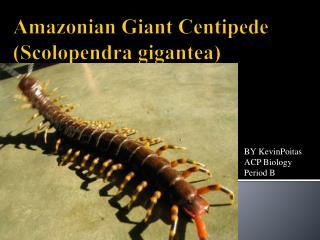 Amazonian Giant Centipede  (Scolopendra gigantea)