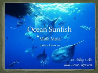 "Ocean Sunfish "" Mola Mola """