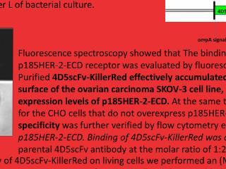 Targeting cancer cells by using  an  photoimmunosensitizer -  4D5scFv-KillerRed Kamil Tomaszewski