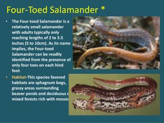 Four-Toed Salamander *
