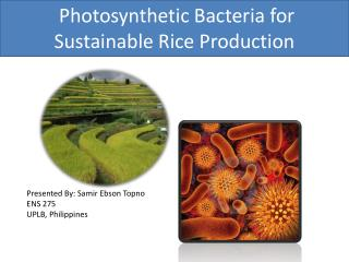 Photosynthetic Bacteria for Sustainable Rice Production