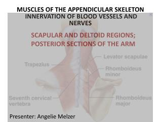 MUSCLES OF THE APPENDICULAR SKELETON  INNERVATION OF BLOOD VESSELS AND NERVES