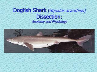 Dogfish Shark  ( Squalus acanthius ) Dissection: Anatomy and Physiology