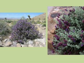 Salvia  dorii AKA…  Desert Sage Purple Sage