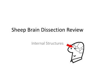 Sheep Brain Dissection Review
