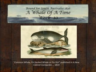 Bound for South Australia 1836 A Whale Of A Time  Week  10