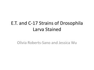 E.T. and C-17 Strains of Drosophila Larva Stained