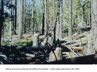 Jeffrey pine trees killed by the Jeffrey Pine Beetle – Little Valley, Near Reno, NV 1998