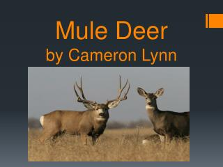 Mule Deer by Cameron Lynn