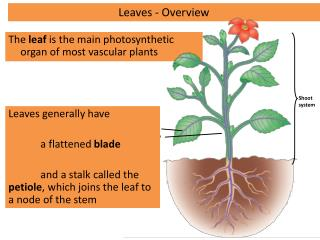 The  leaf  is the main photosynthetic organ of most vascular plants