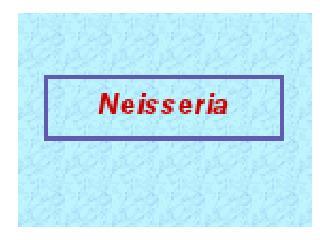 Neisseria  gonorrhoeae Karakteristik Neisseria  gonorrhoea  (= Gonococcus)  Diplococcus