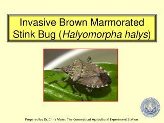 Invasive Brown Marmorated Stink Bug ( Halyomorpha halys )