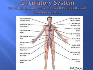 Circulatory System Provides O 2  and nutrients to all body cells and removes wastes.
