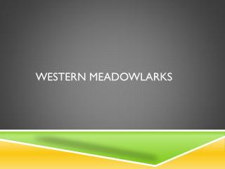 Western Meadowlarks