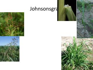 Johnsonsgrass