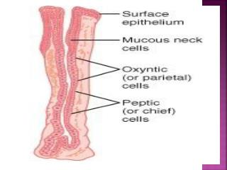 Gastric  M ucosal Barrier