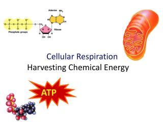 Cellular Respiration Harvesting Chemical Energy