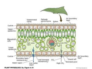 Figure 4.12  Electron micrographs of stomata; (B) Stomatal complexes of  Carex