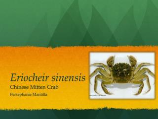 Eriocheir sinensis Chinese Mitten Crab