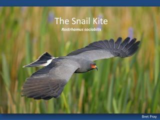 The Snail  Kite Rostrhamus sociabilis