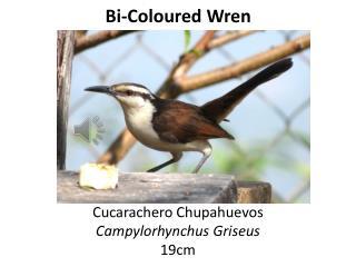 Bi- C oloured Wren