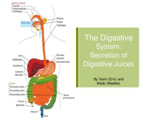 The Digestive  System: Secretion of Digestive Juices