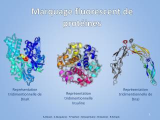 Marquage fluorescent de protéines