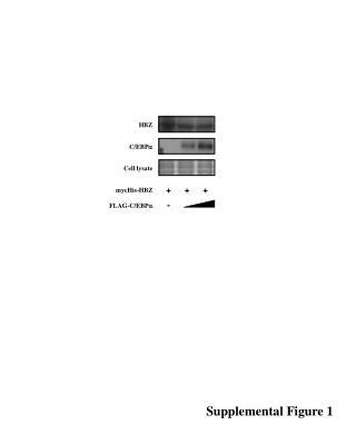 FLAG-C/ EBP a